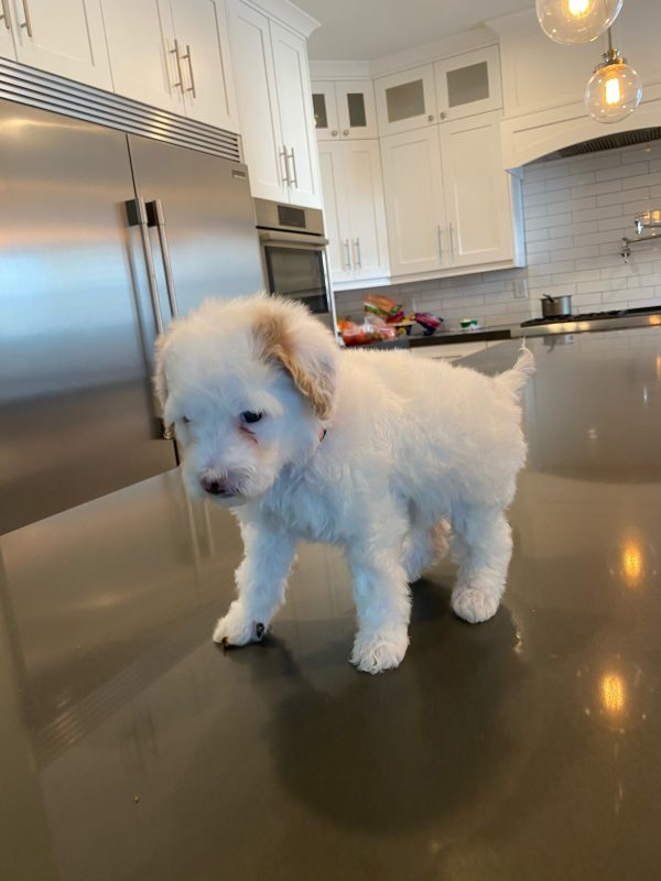 Golden Doodle from Wasatch Pup